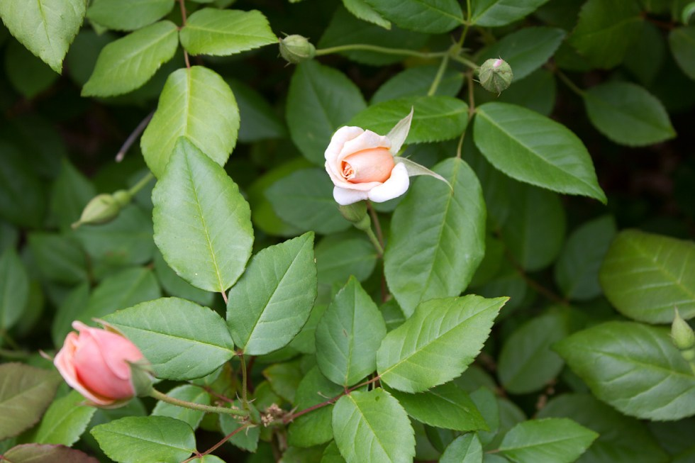 (above) New buds on one of my two Rosa 'Perle d'Or' shrubs.