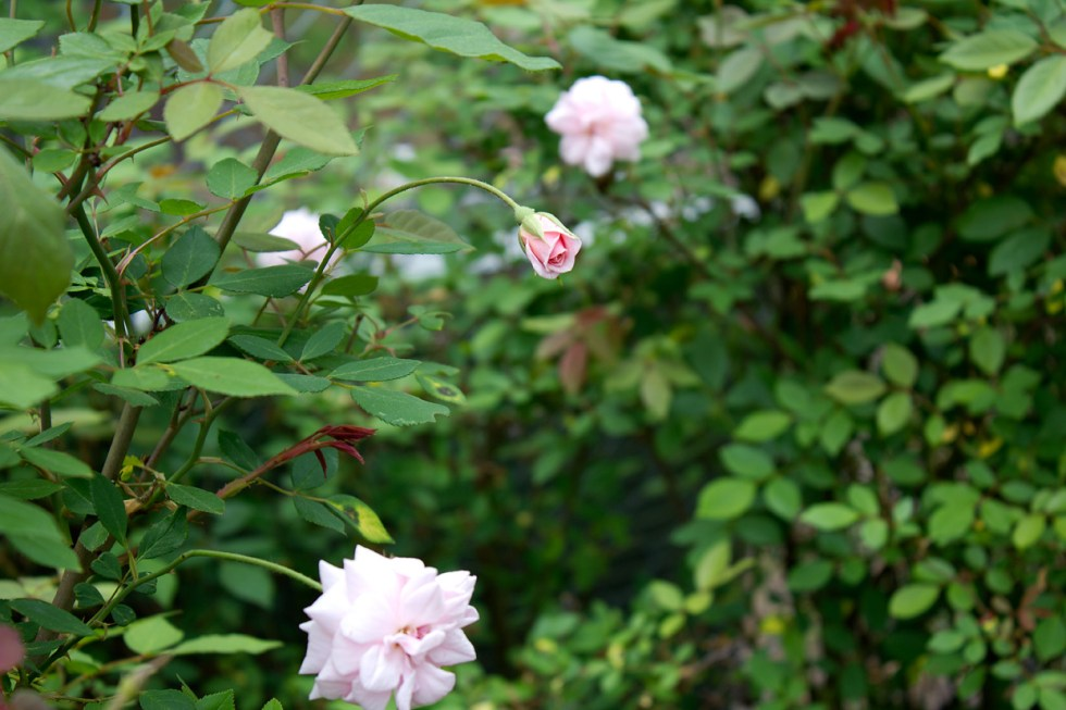 (above) New blooms on one of my six Rosa 'Cécile Brünner' shrubs.