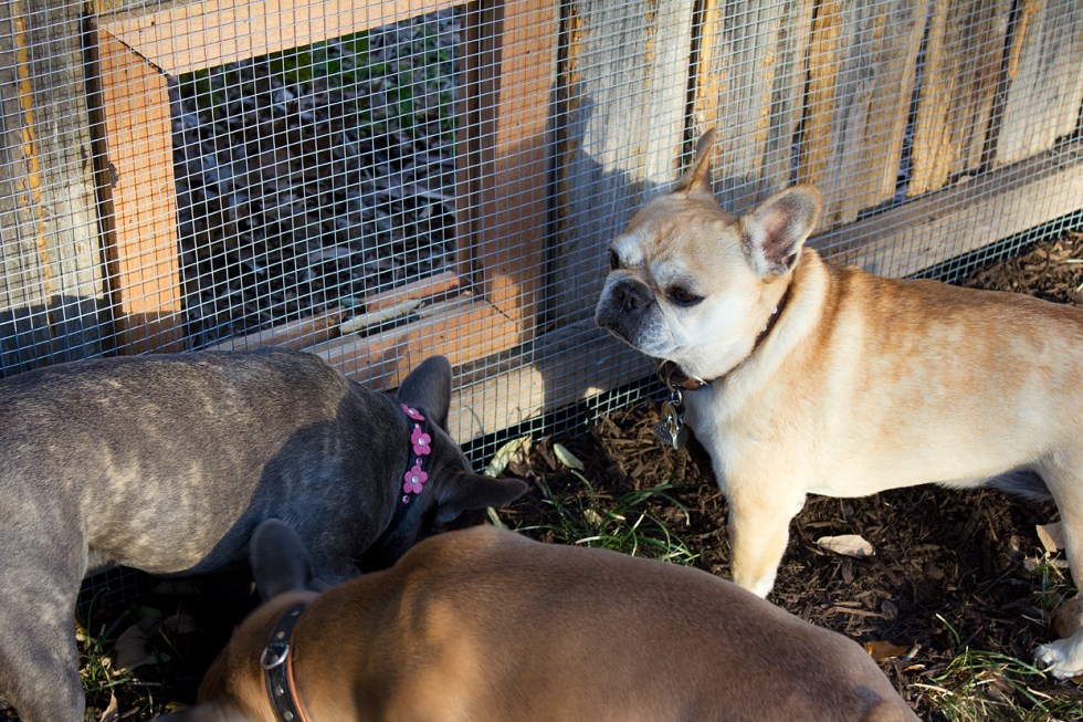 Since the neighbor's dogs weren't outside, I had to entice my dogs into posing with scattered treats at the base of the fence. Only Bertha showed me a profile, while the twins were inhaling mulch.