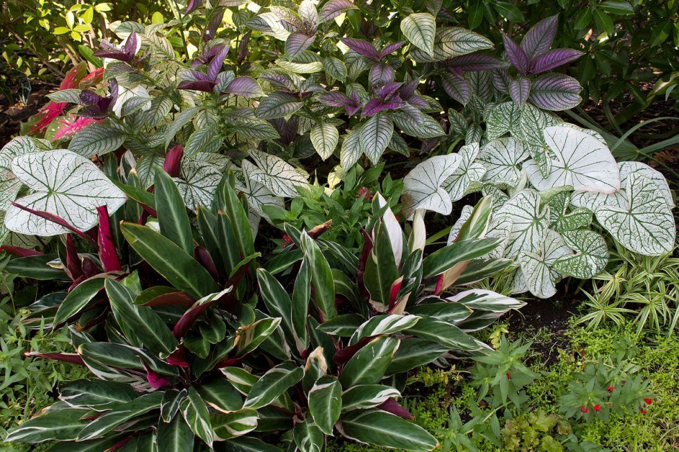 (above) Again, another shot taken last summer. The Stromanthe Tricolor is the stripy red, white, and green plant in the foreground.