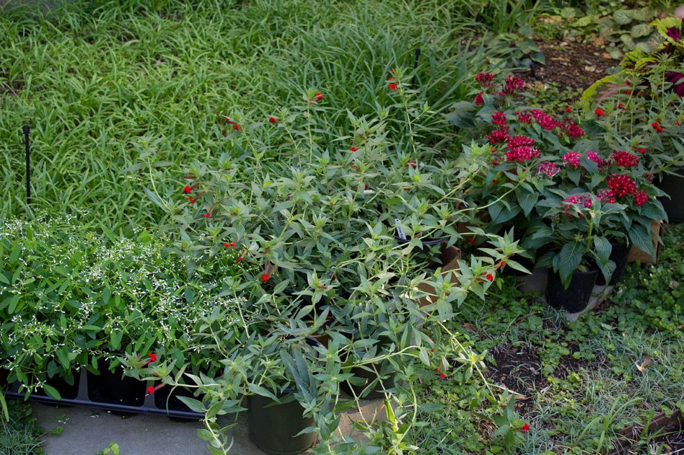 (above from left to right) Diamond Frost Euphorbia, Bat Face Cuphea (which pairs and compliments the Persian Shield), and Red Pentas