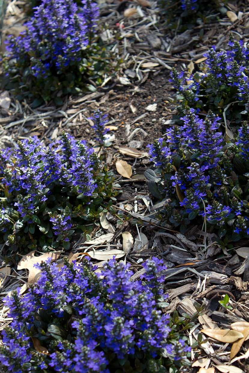 (above) As you can see, the plants are still in their clump phase. There are a few areas where the newly planted Ajuga did not survive, because it didn't have time to become established before our brutal summer. I will replant those areas, and hopefully, this summer won't be as bad as the last two.