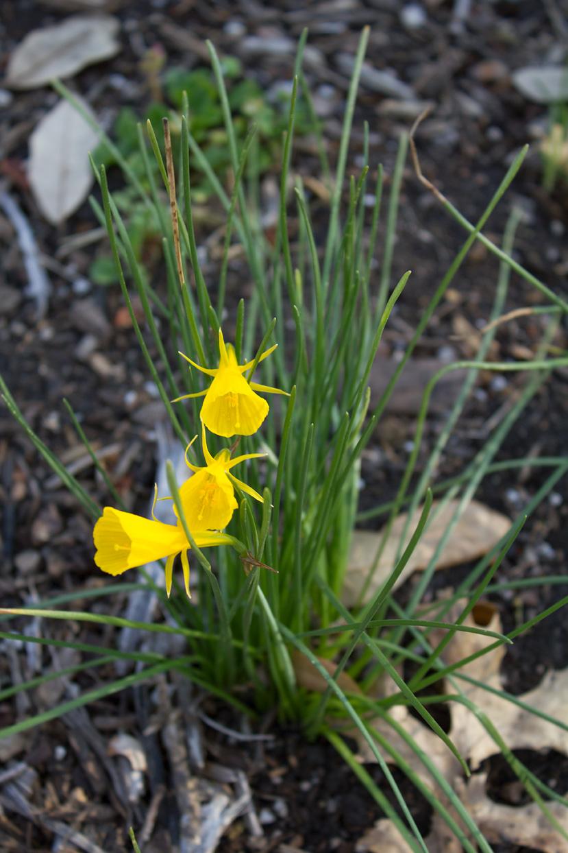 (above) Hoop petticoat daffodil (Narcissus bulbocodium)