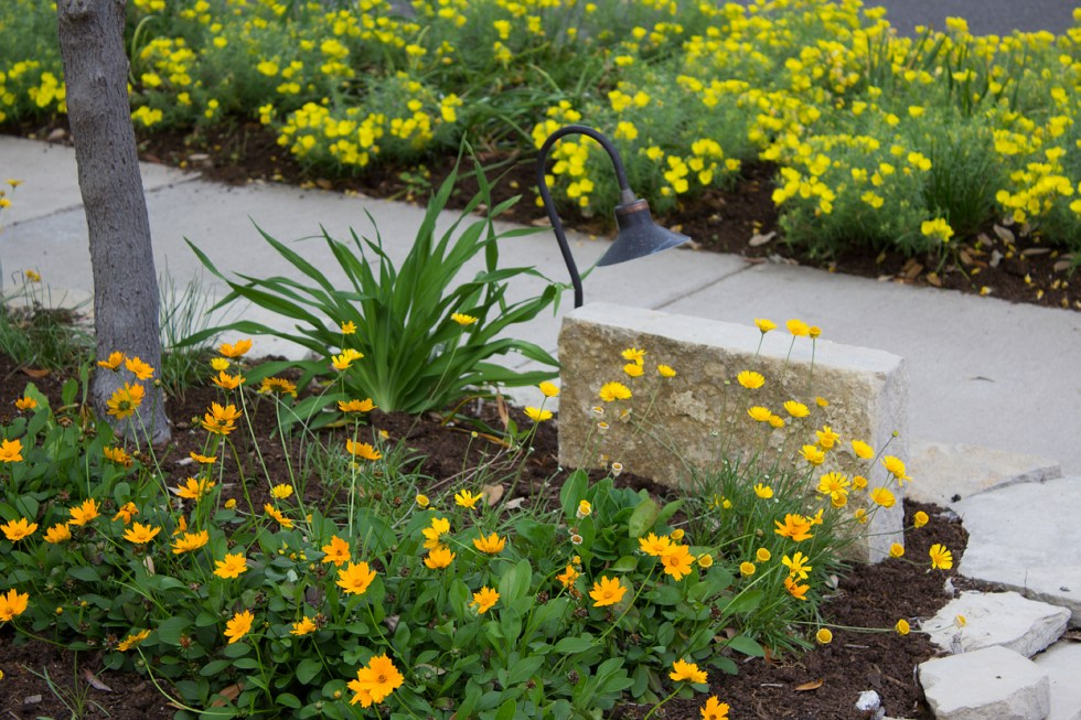 This is the only way to make concrete look good. With Four-nerve daisies (Tetraneuris scaposa) mixed in with Dwarf Coreopsis (Coreopsis auricular 'Nana') at the base of my Texas Whitebud tree and a backdrop of sundrops, who will notice the concrete?
