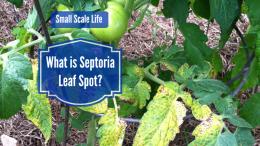 Tomato; Blight; Septoria; Larry Hall's Rain Gutter Grow System; Kiddie Pool Grow System