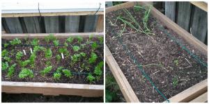 Tomatoes; Beans; Cucumbers; Peppers; Herbs; Greens; Lettuce; Vertical Garden; Trellis; Garden; Rain Gutter Grow System; Raised Bed; Raised Beds; Herbs; Oregano; Basil; Zucchini; Potatoes; Guerilla Garden