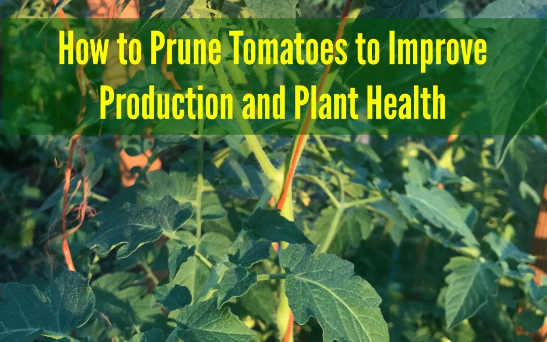 How to Prune Tomatoes for More Fruit, Pruning Tomatoes, How do I grow more tomatoes,