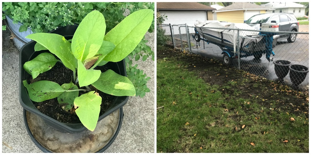 Fall Projects this year includes planting the comfrey from Nature's Image Farms and rebuilding grass that snow and Karma have damaged - October 2018