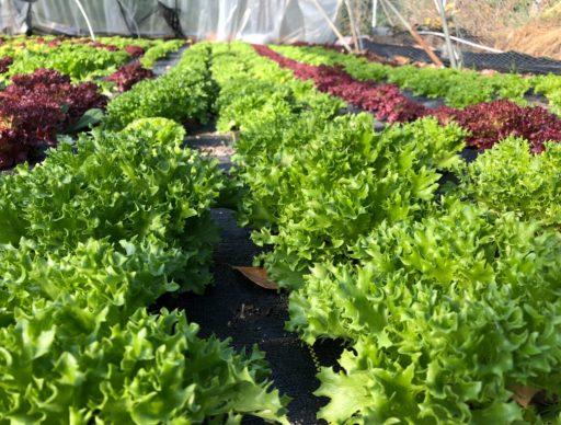 growing salanova, gardening, urban farming, market gardening, Dallas Half Acre Farms, Michael Bell, Bellcast, homesteading. small business