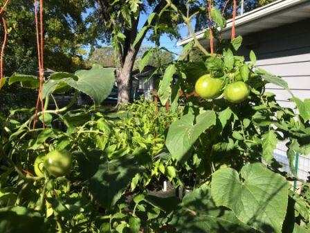 How to Extend my Garden Season, Tomatoes