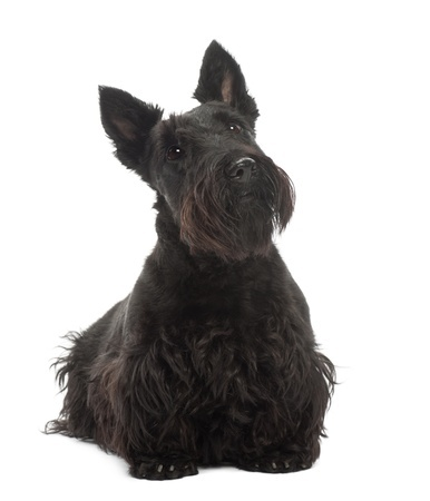 Short Legged Long Bodied Dog Breed With Erect Ears Terrier