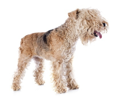 Grey coated terrier name