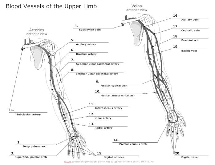 upper body diagram unlabeled