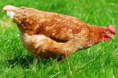 Gigoo the millionaire hen