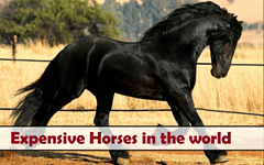 Expensive horses in the world