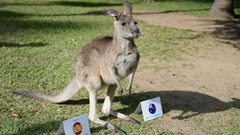 Flopsy the Kangaroo Animals That Can Predict FIFA Winning Team