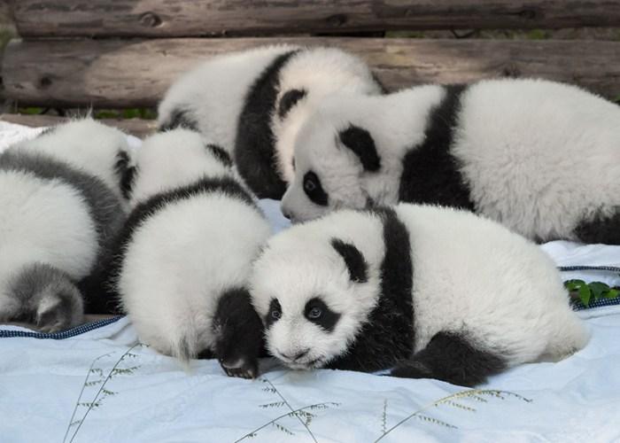 Daily Daydream: Bifengxia Panda Base, China