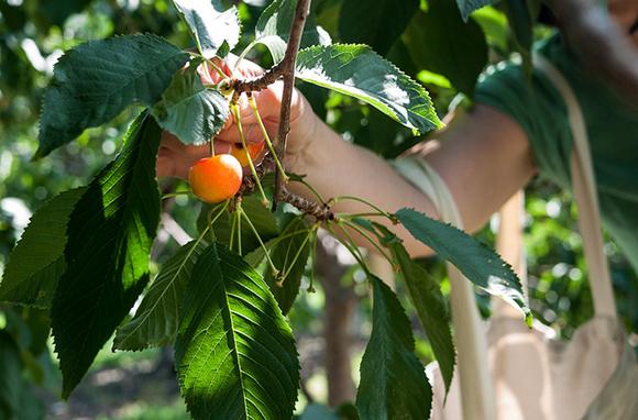 Thompson Okanagan's Cherries