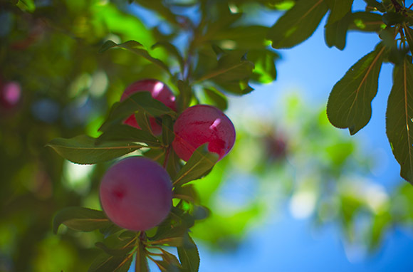 Santa Rosa Plums at Jacobsen Orchards