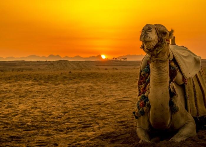 Camel Desert Sunset