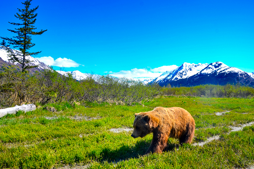 a brown bear walks through the grass in anchorage, alaska