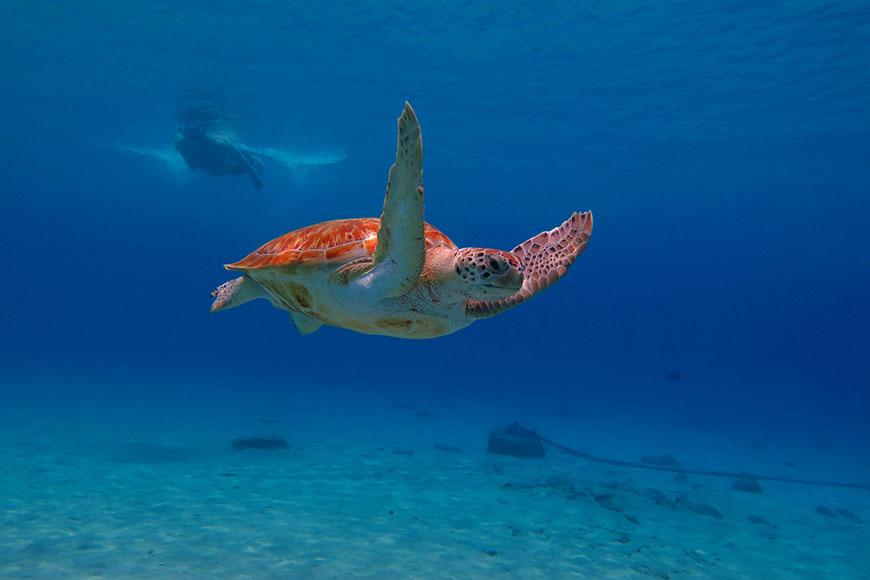 sea turtle and snorkeler in aruba.