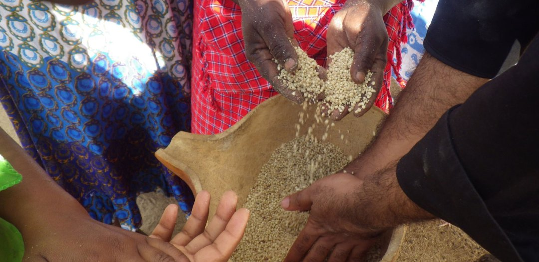 Sorghum – a new hope in dry times