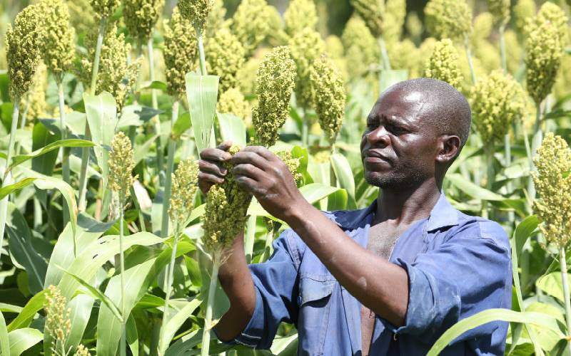 Long rains improve outlook for sorghum farmers, KBL factory