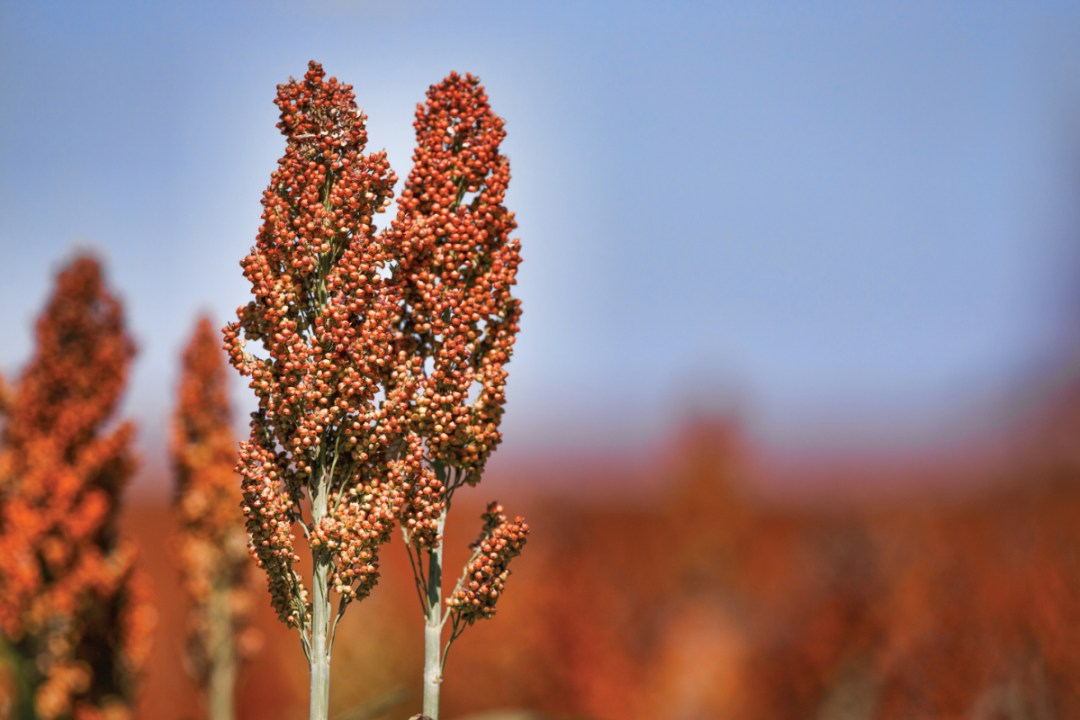 South Africa's sorghum area up from record low