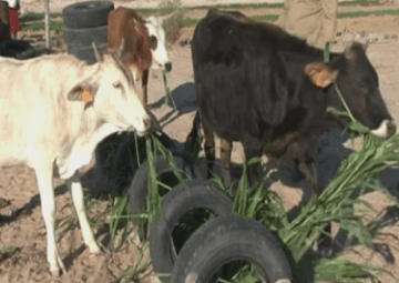 Outapi farmer grows sorghum to feed his cattle