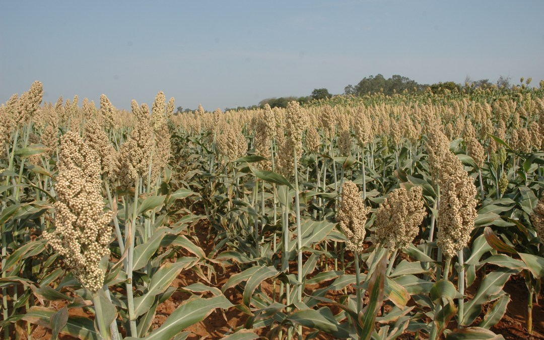 Sorghum hybrid Developed using ICRISAT Breeding Material Received Special Recognition as Outstanding Forage Hybrid 2019
