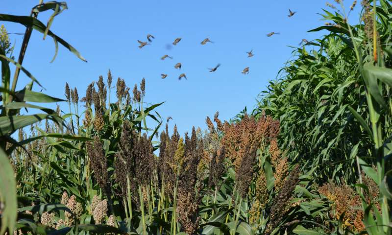 Sorghum study illuminates relationship between humans, crops and the environment in domestication