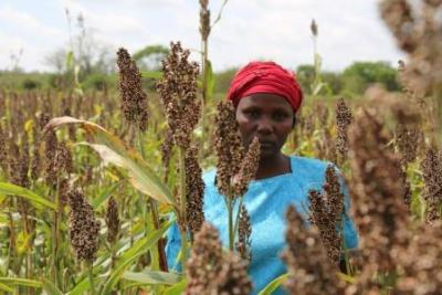 Kitui Sorghum Farmers Decry Lack Of Market Despite Bumper Harvest