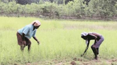 50 years on, millet makes a comeback in Odisha's Keonjhar district