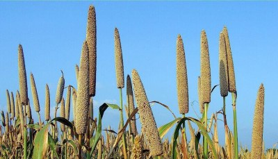 Pearl Millet can Withstand Climate Change Chaos Better than Wheat