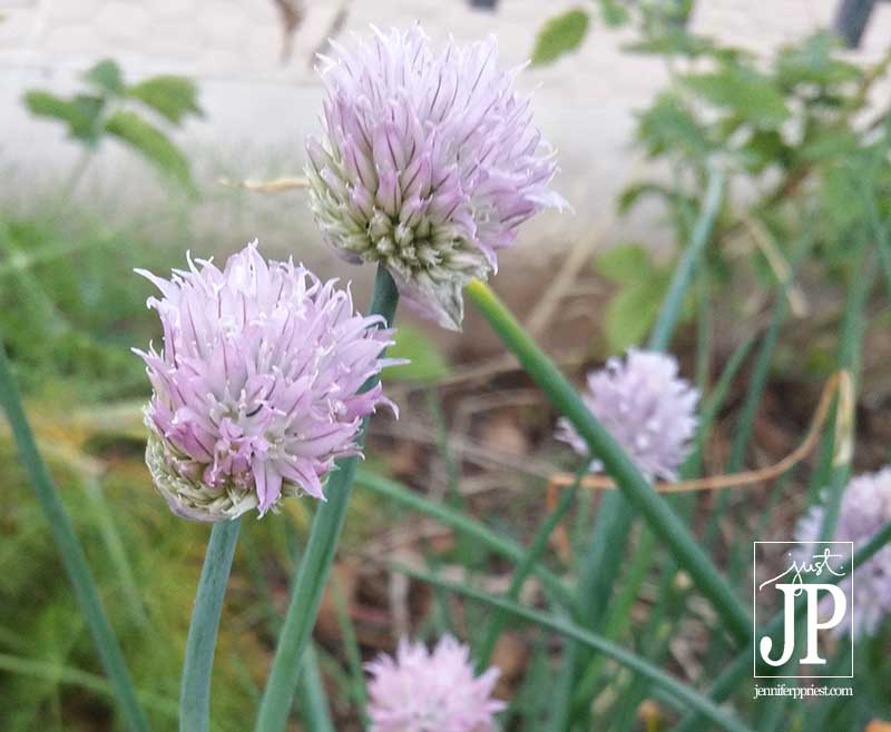 Clover in the Garden JPriest