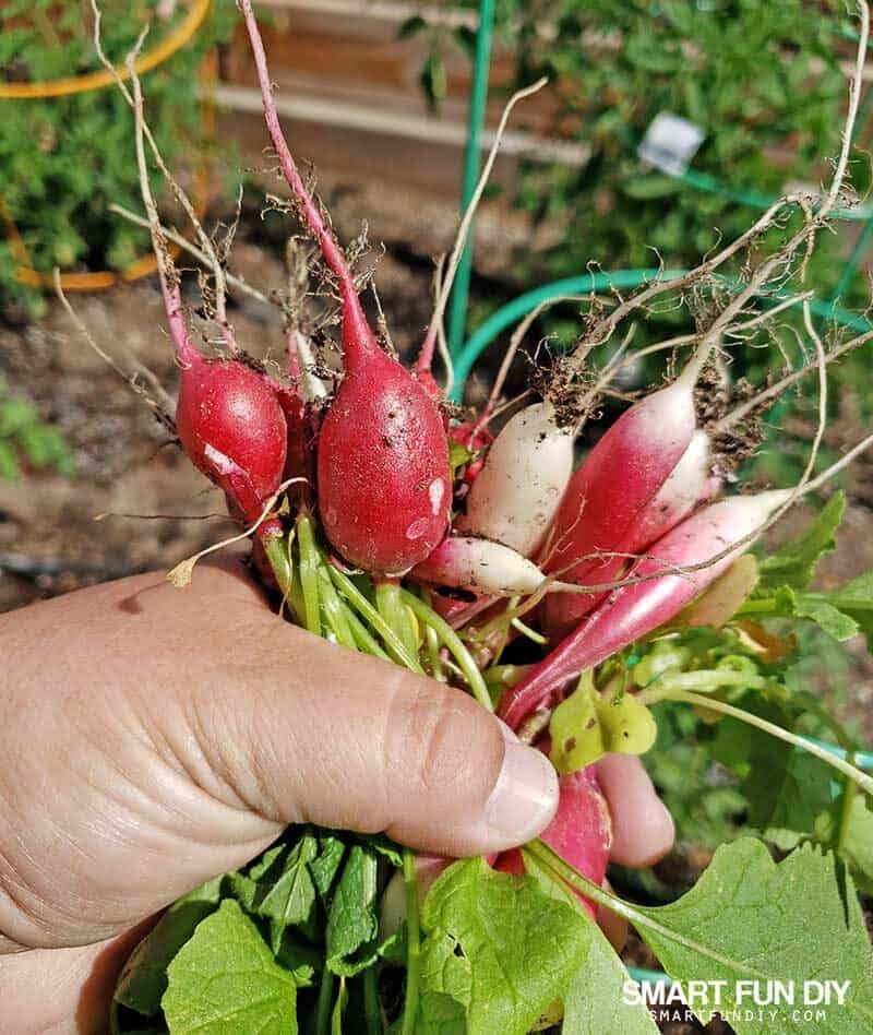 hand holding homegrown radishes with leaves and roots