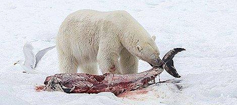 Calentamiento global obliga Oso Polar comiendo delfines en el Ártico 2 web