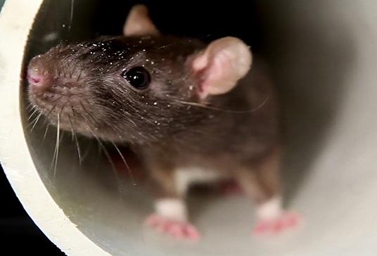 rodent control kolkata