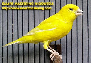 Burung Kenari (Canary)