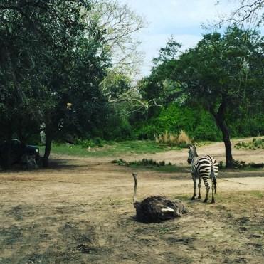 Ostrich and Zebra