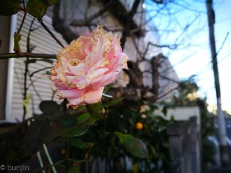 寒風に耐え、咲く