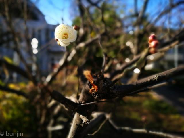 今年初の梅の花、みっけ