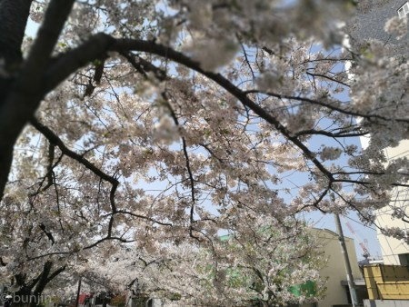 Full of cherry blossoms