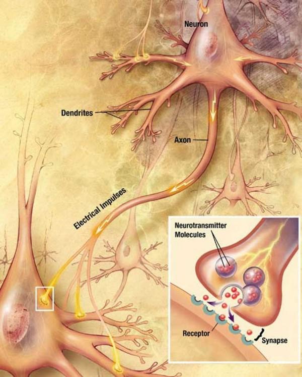 El ayuno intermitente podría ayudar a aumentar la neurogénesis en el cerebro