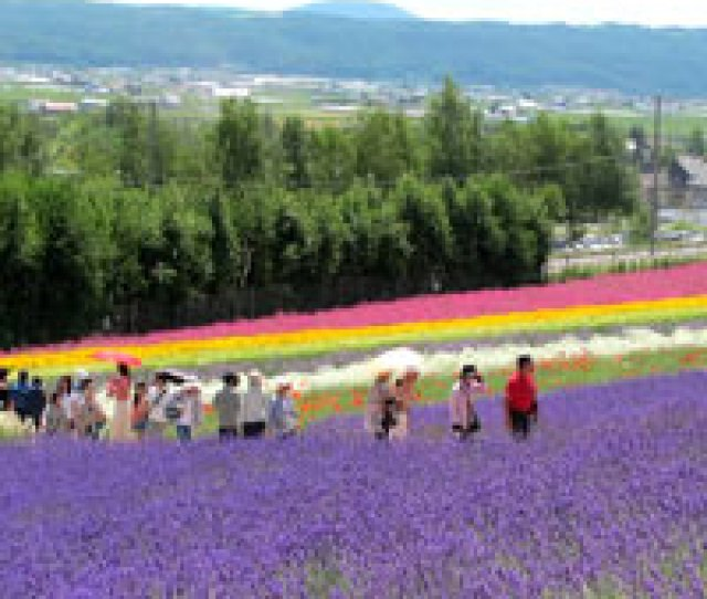Hokkaido Fun Guide Lavender Blooms In Summer