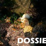 Changements climatiques : pêche aux bulots en danger ?