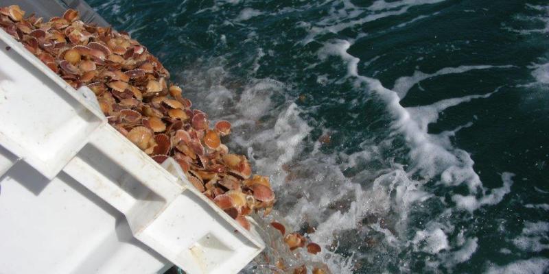 Semis de coquilles Saint Jacques en baie de Granville