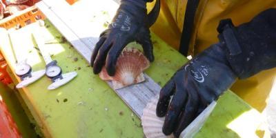 Mesures de coquilles Saint Jacques à bord du bateau.