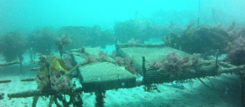 Parc à huîtres en eau profonde à Fermanville (SMEL)